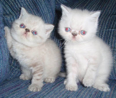 Puffstuff Cattery Of Persians And Exotics